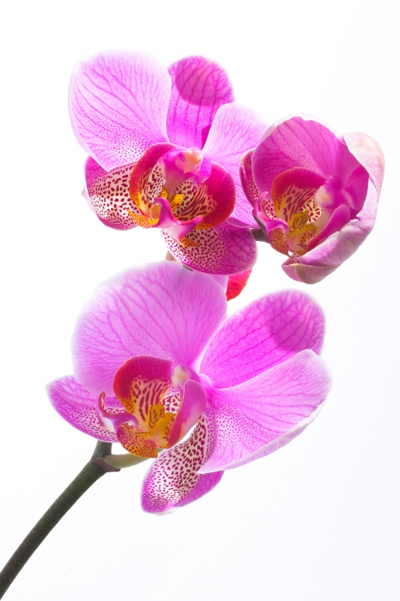 Orchidee [no. 25]
