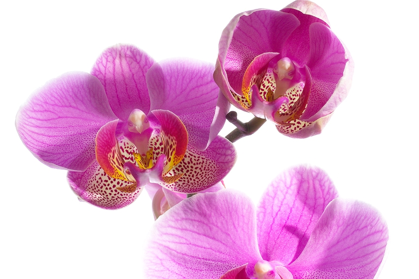 Orchidee  [no. 28]