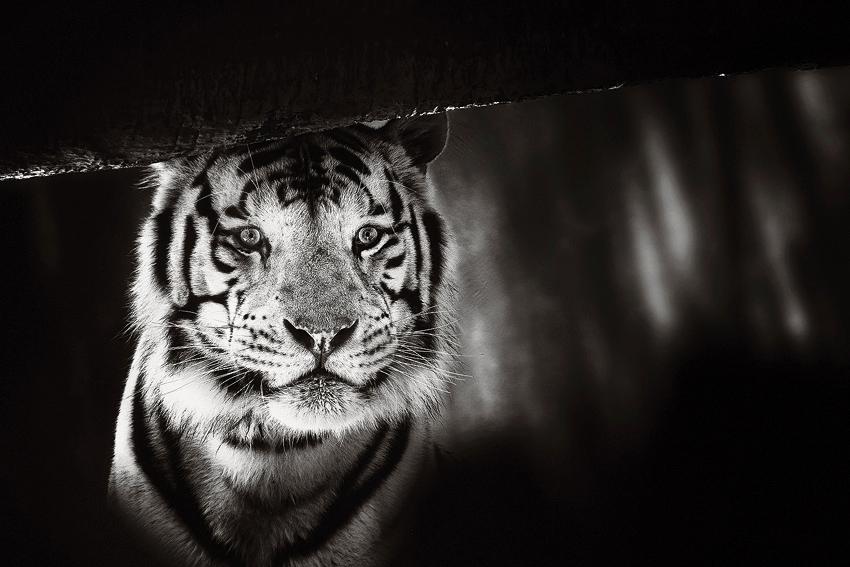White Tiger  [no. 512]