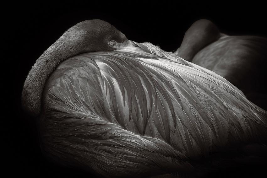 Flamingo  [no. 510]