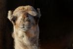 Camel Baby [no. 1873]